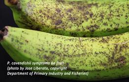 Banana freckle