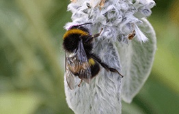 Bumble bees are found in Tasmania, but are not wanted on the mainland of Australia.