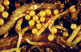 Potato cyst nematode