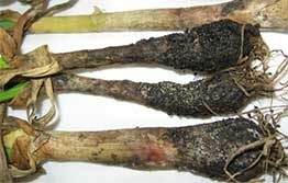 Vegetable growers encouraged to check for white rot