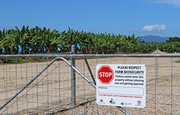 Update on Panama disease TR4 in bananas